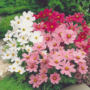 Цветок космея