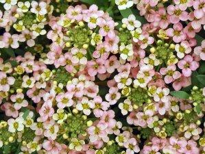Описание растения алиссум, правила его выращивания