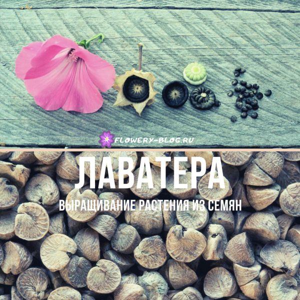 Лаватера: фото, выращивание из семян