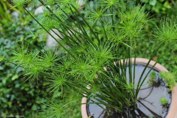 Cyperus-hapsan
