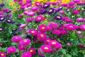 Астры: выращивание из семян, когда сажать на рассаду?