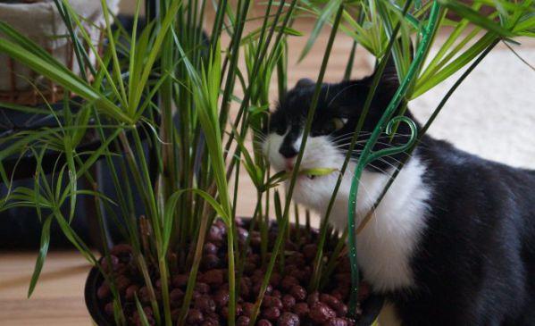 Растение циперус и кошки: как взаимодействуют