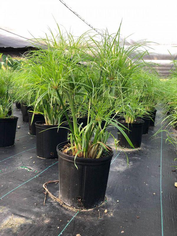 cyperus-papyrus-nanus-dwarf